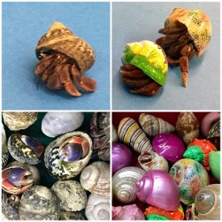 Hermit Crabs and Shells