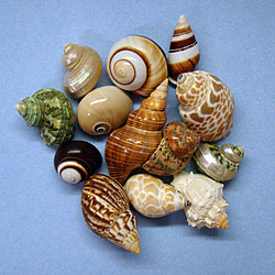 Fancy Natural Shells